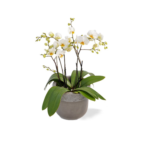 witte orchidee in pot